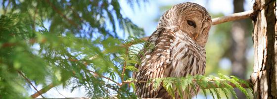 Barred Owl   Oceanscape Network