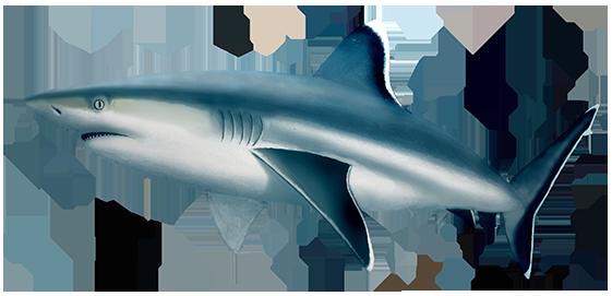 Silvertip Shark Oceanscape Network
