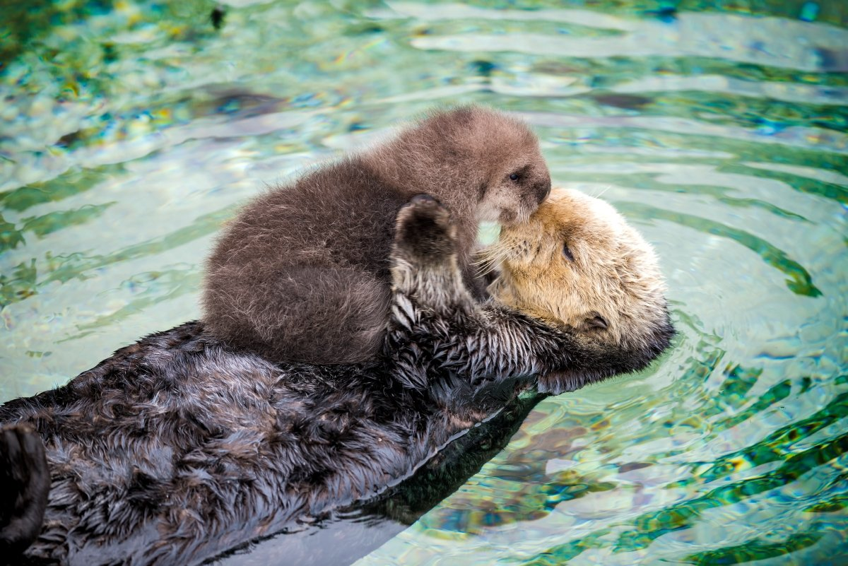 Two Sea Otters Kissing