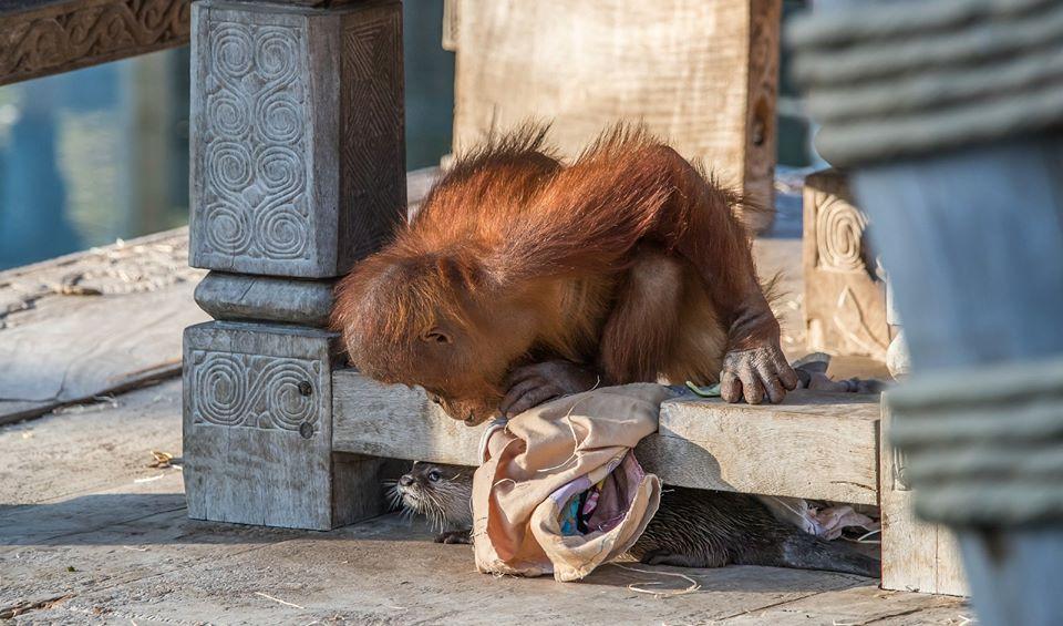 orangutan and otter