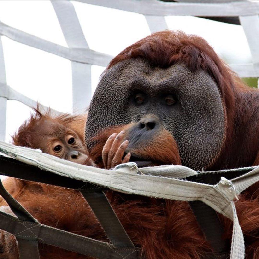 Berani the Orangutan and Cerah