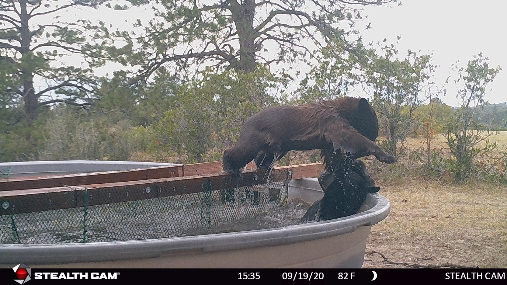 bear lifting other bear in water tank