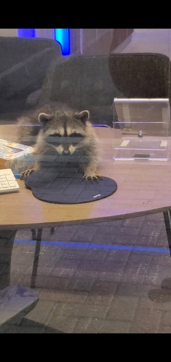 raccoons california bank