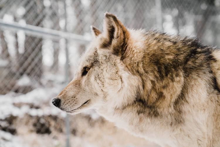 Rocky Mountain Wildlife Foundation Wolf Profile