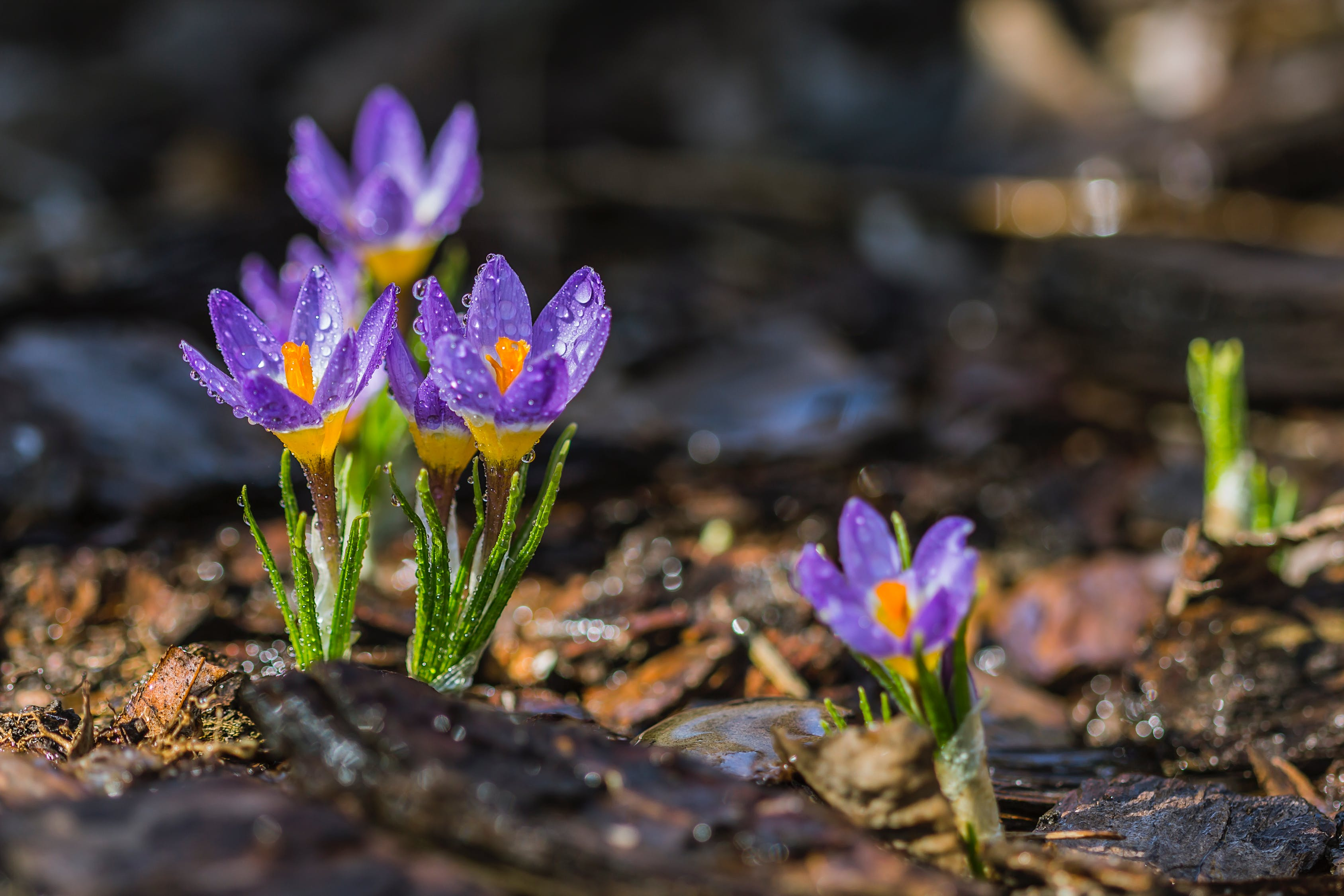 crocuses, flowers