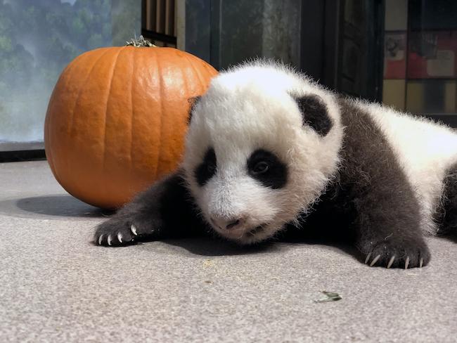 Baby panda in October