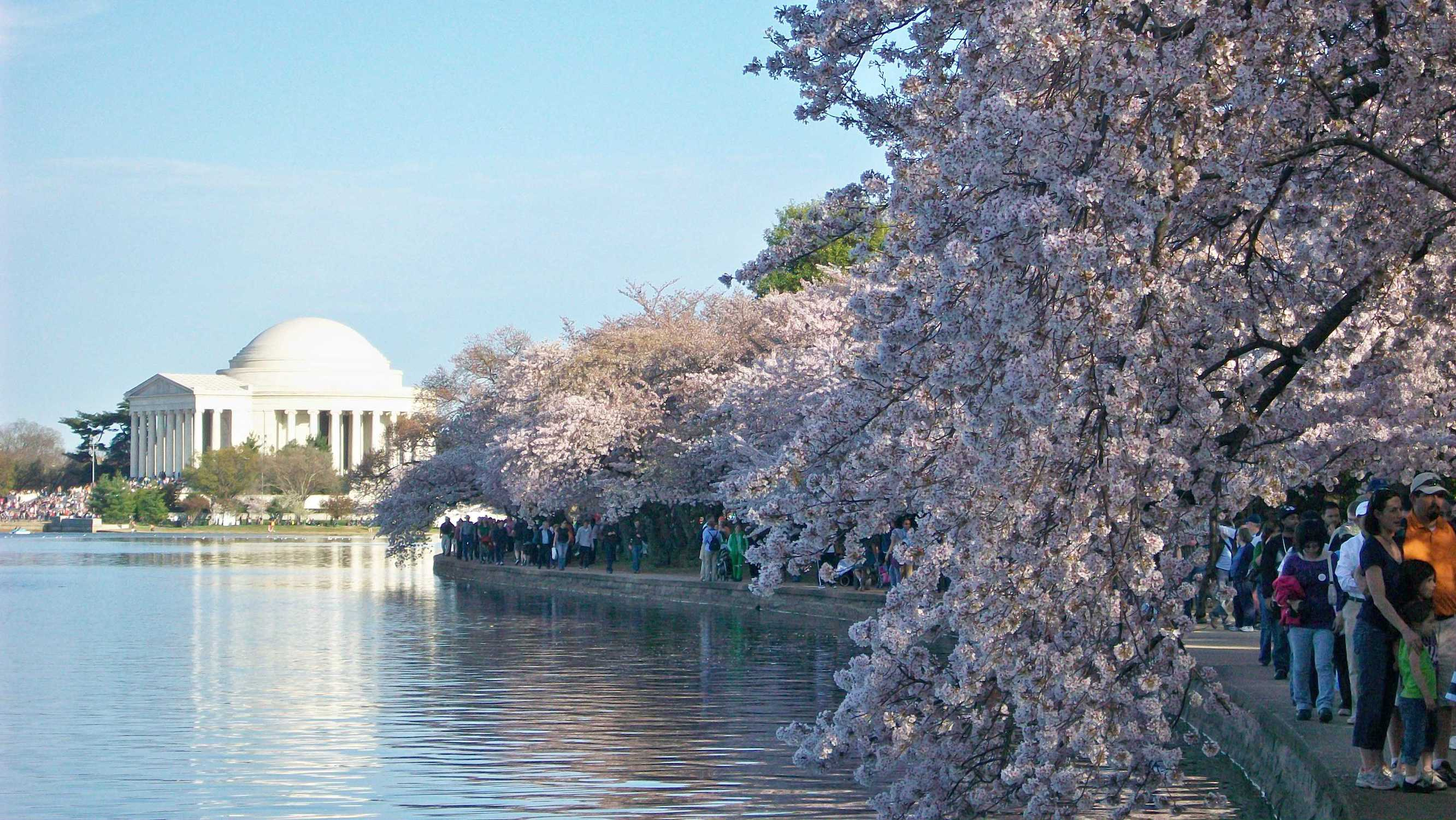 Cherry Blossom Trees In Dc Reach First Stage Of Bloom