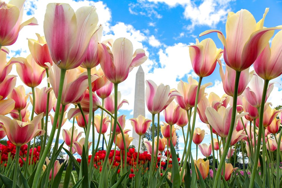 tulips, Washington Monument
