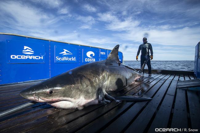 White Shark Unama'ki