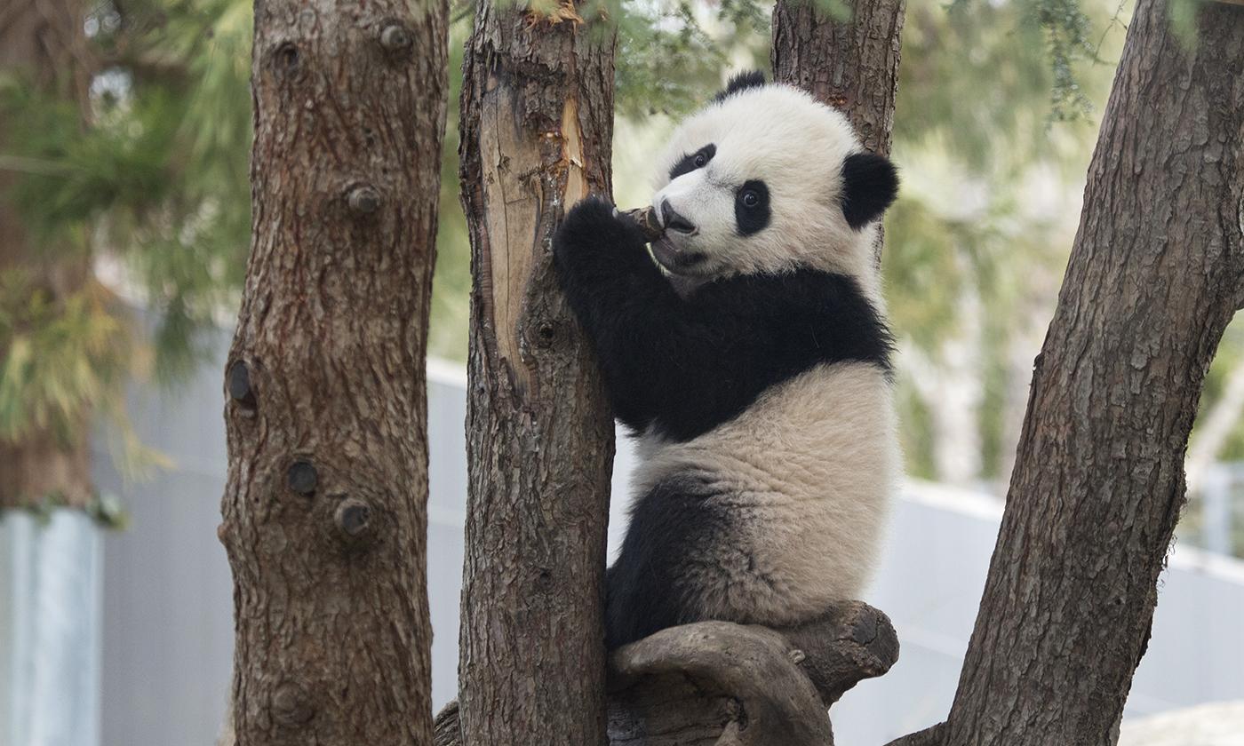 Panda Climbing a Tree