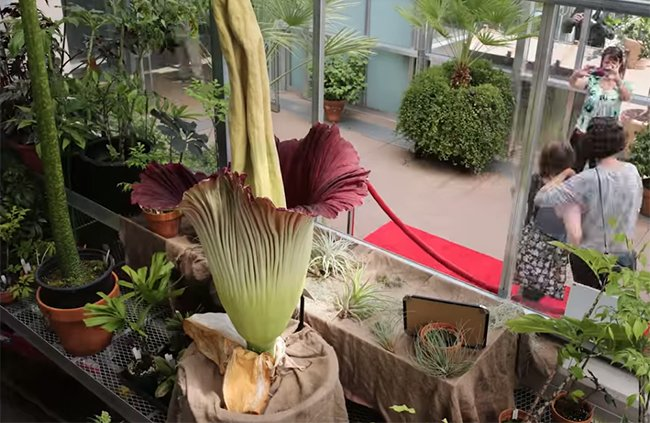 7019882a 95d1 4184 a624 8bceda032e35 - Denver Botanic Gardens Corpse Flower Time Lapse