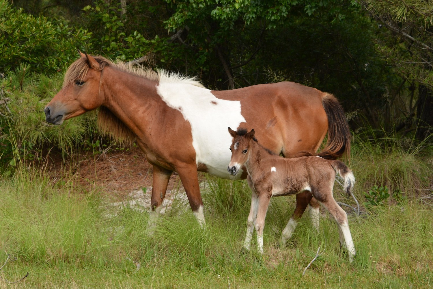 Mother and foal on Assateague Island