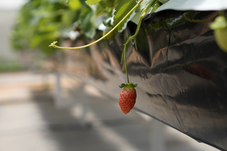 strawberry, plant