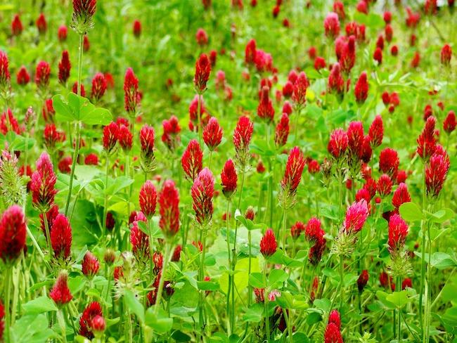 crimson clover field