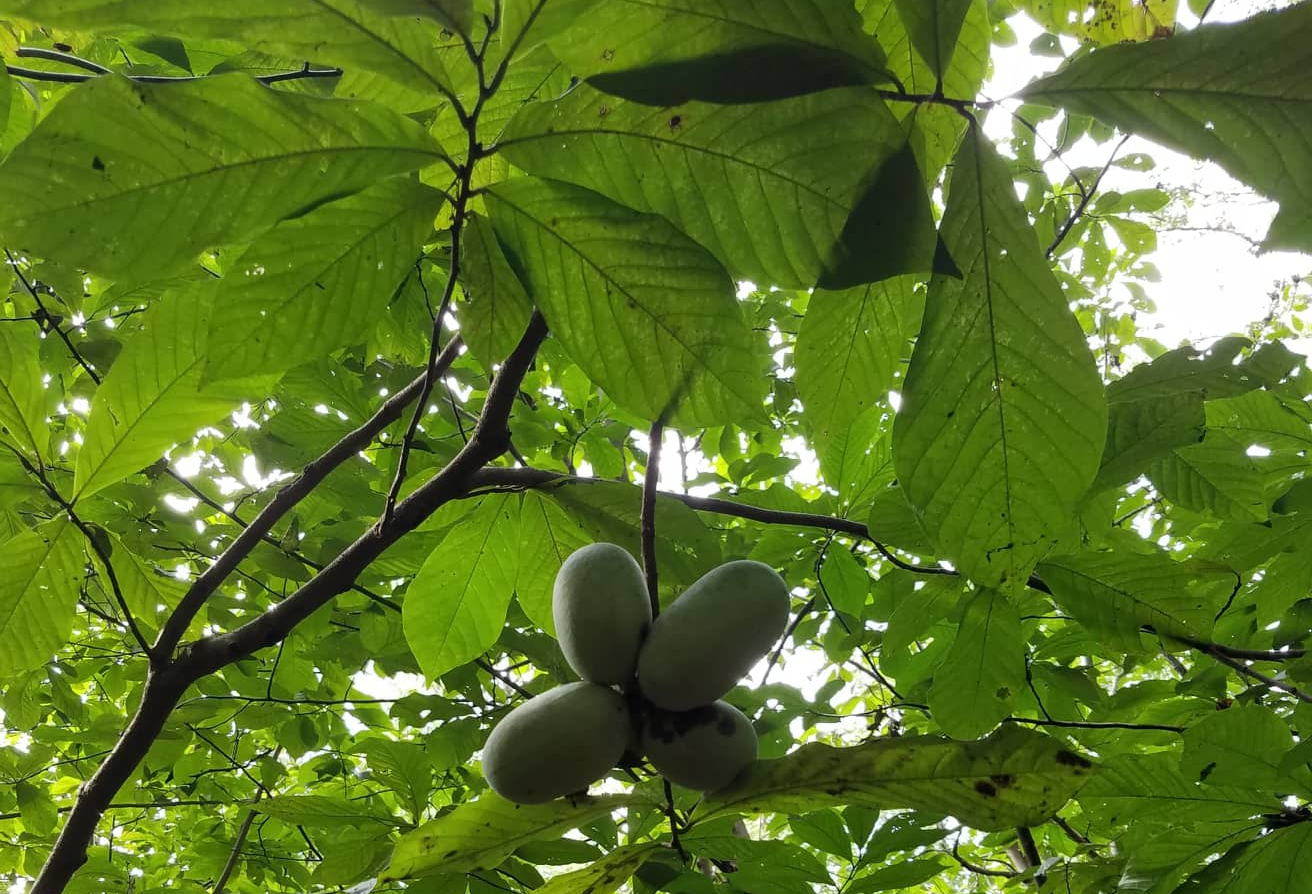tree, fruit