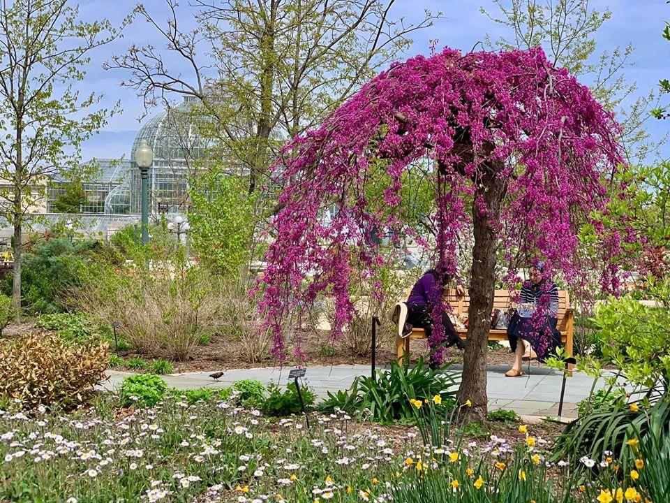 redbud, US Botanic Garden