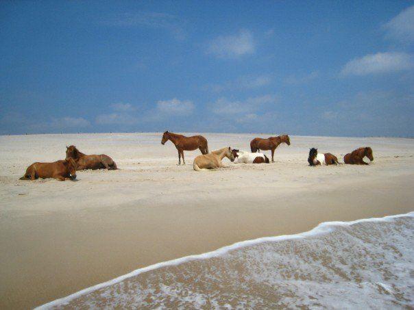 assateague island beach and horses