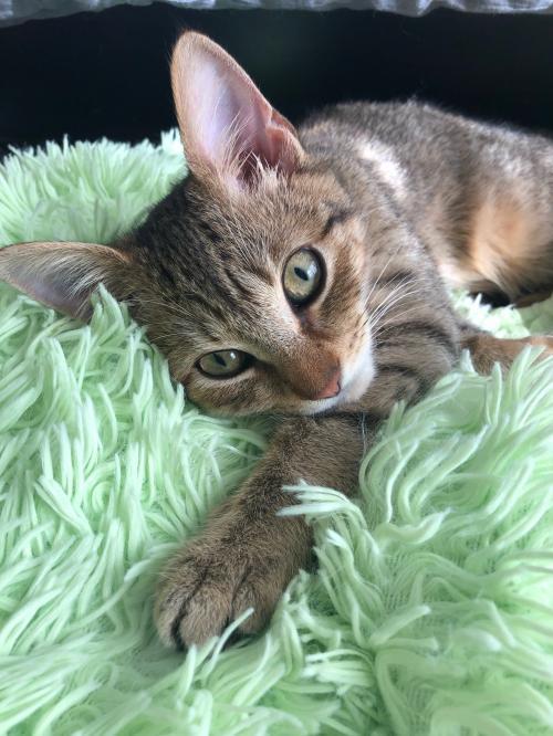 Drama, Tabby Cat