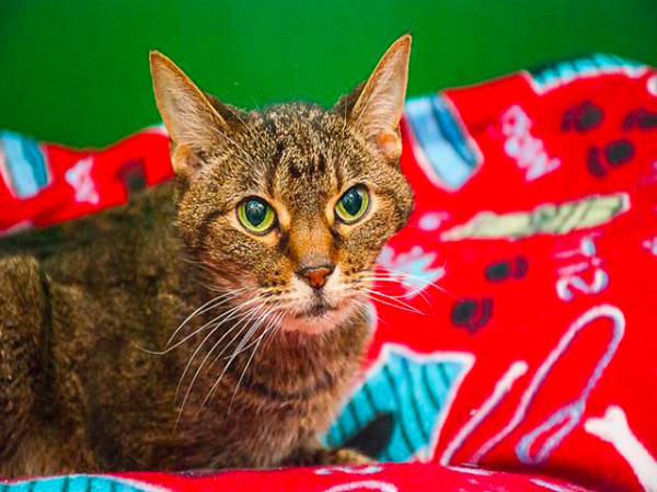 Stump, Tabby Cat