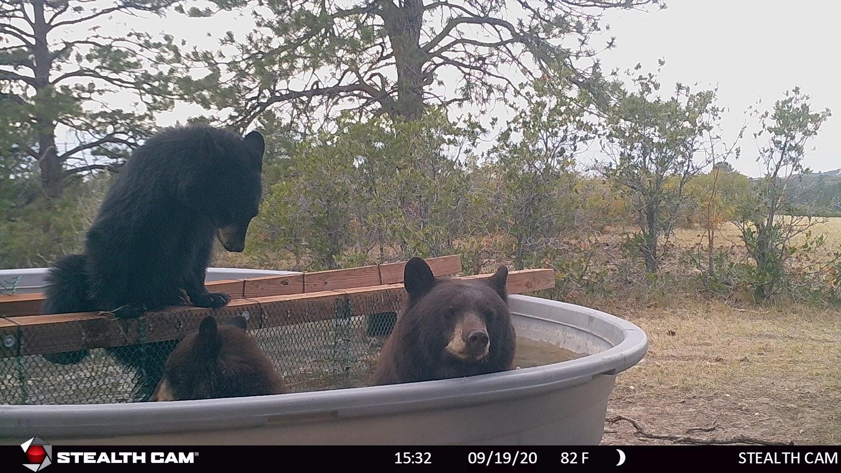 bears playing in water tank