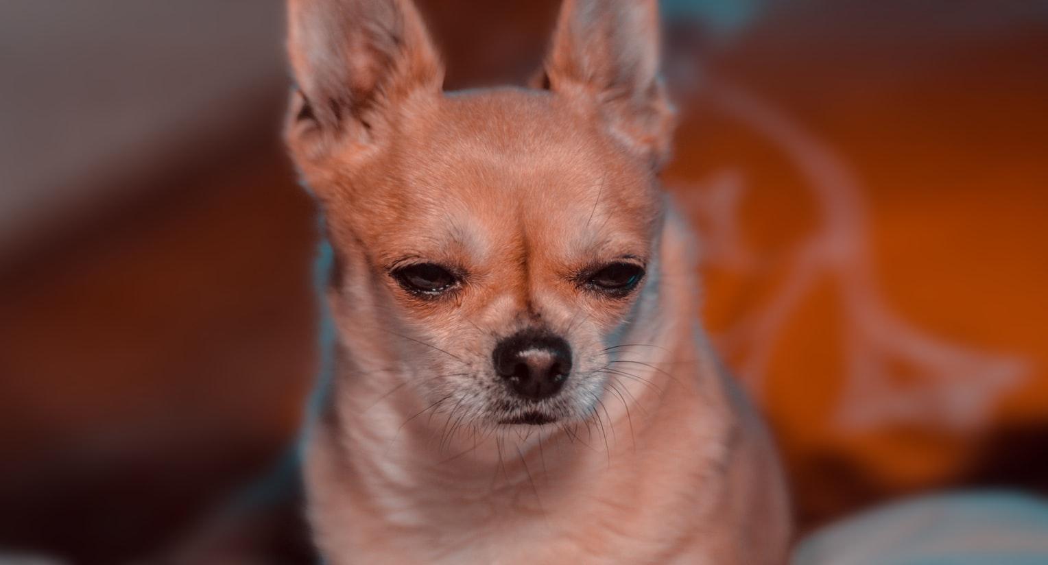 chihuahua, dog