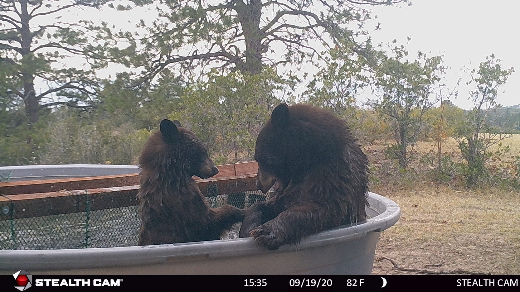 mama and baby bear in water tank