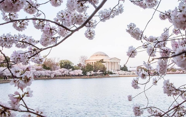 Cherry Blossom History How A Simple Gift Transformed The Landscape Of Dc