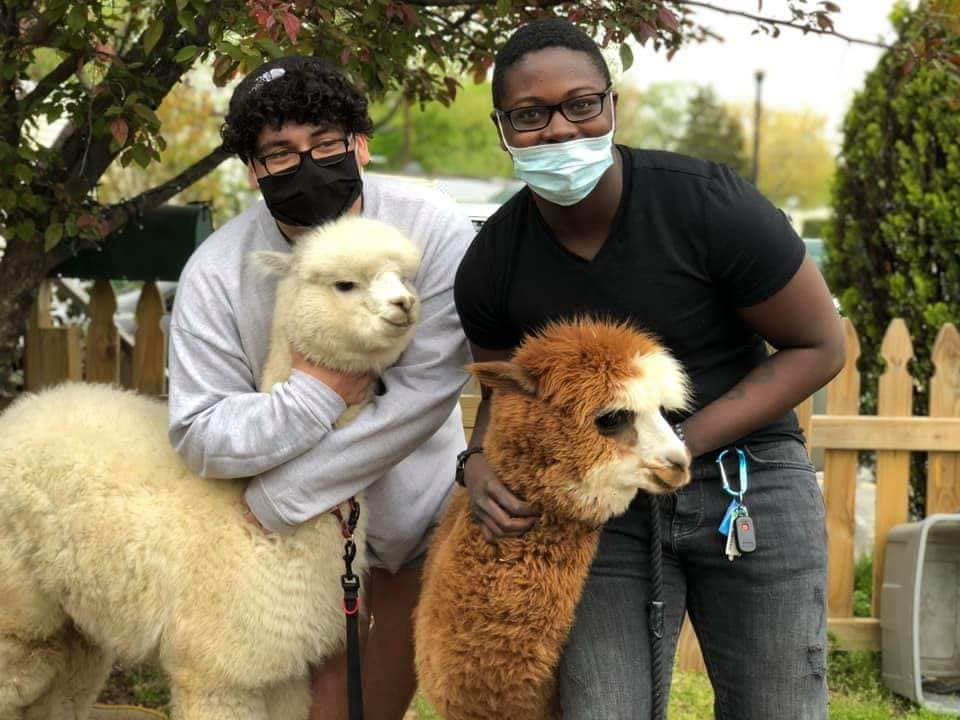 alpacas and people