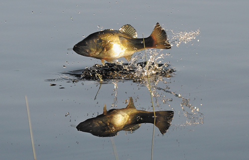 Senior sports writer Lou Reuter took this photo of a bass casting its reflection on Barnum Pond in Paul Smiths while in pursuit of a dragonfly on June 1.
