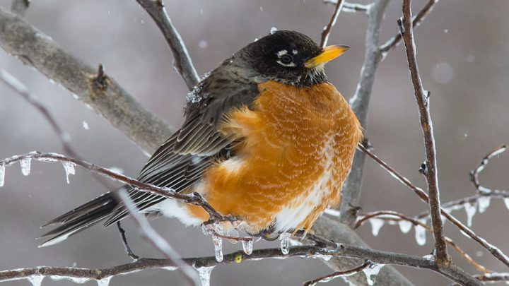 As long as there is food available, American robins may remain in cold climates. (Photo provided — Cornell Lab of Ornithology, Chuck Porter via Birdshare)