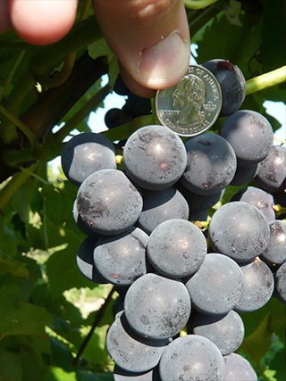 A seedless Concord-type table grape developed by Cornell University grape breeders (Photo provided — Bruce Reisch; CALS)