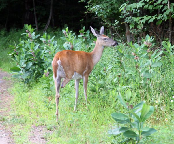 A three-legged deer grazes near Moody Pond in Saranac Lake this week. (Photo provided — Steve Buzzell)
