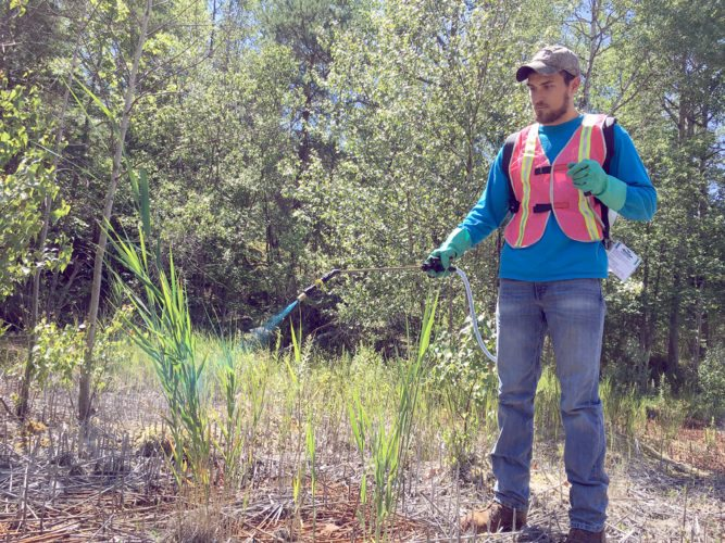 APIPP intern Mitchell Jones treats some Phragmites, an invasive species of grass that APIPP recently published a report about. (Photo provided by APIPP)
