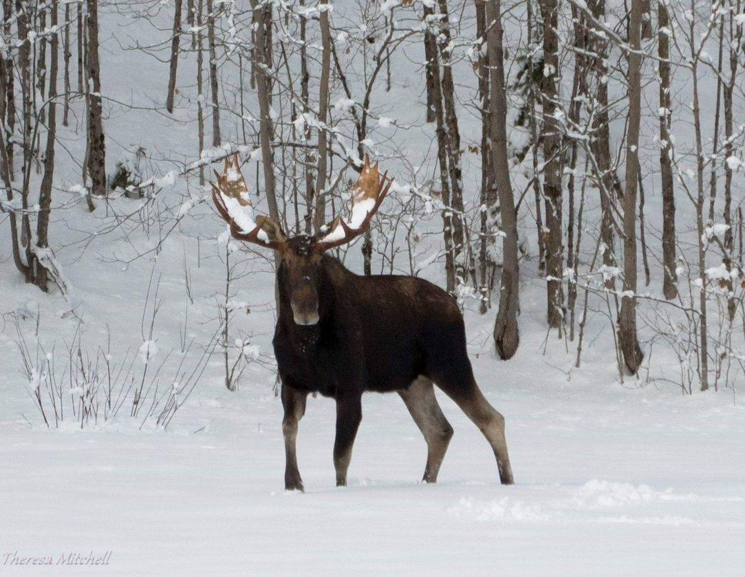 DEC spots nearly 100 moose in 4 days | News, Sports, Jobs ...