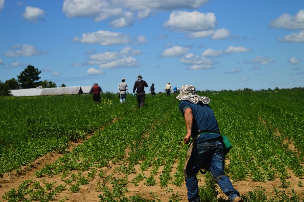 Migrant labor in Gabriels | News, Sports, Jobs - Adirondack