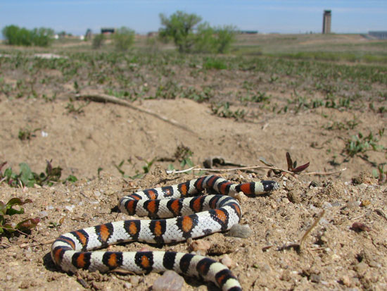 Venomous vs non-venomous snakes | Animals/wildlife | Snake ... |Milk Snake Humor