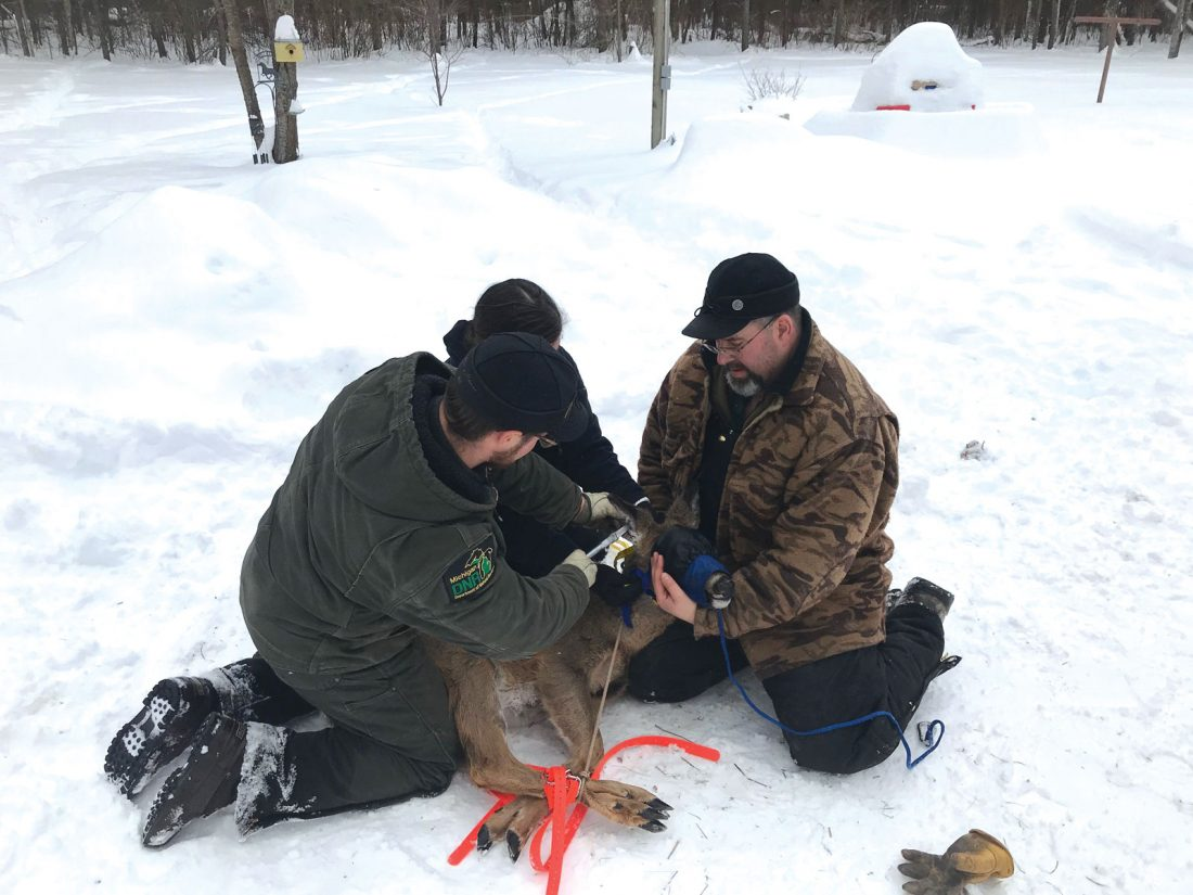 Dickinson deer fitted with GPS collars | News, Sports, Jobs