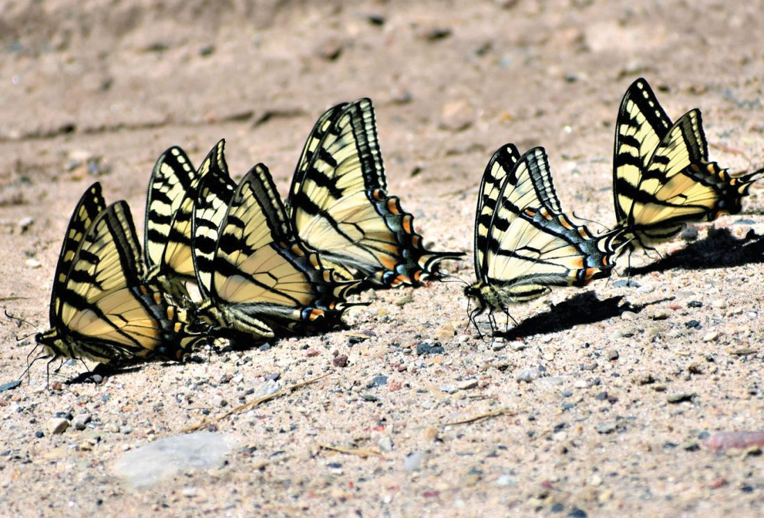"c7bc5badd A group of Canadian tiger swallowtails gather to feed on salts and other  nutrients — a behavior termed ""puddling"" — on a dirt section of Six Mile  Lake Road ..."