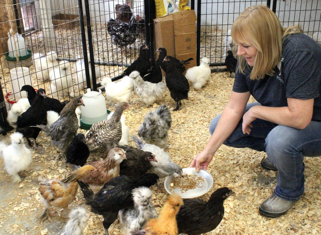 Florence Woman Fascinated By Fancy Chickens News Sports