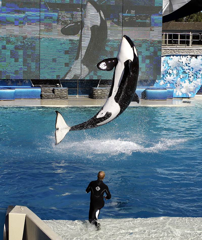 Incidents At Seaworld Parks: SeaWorld Reviewing Killer Whale Attack