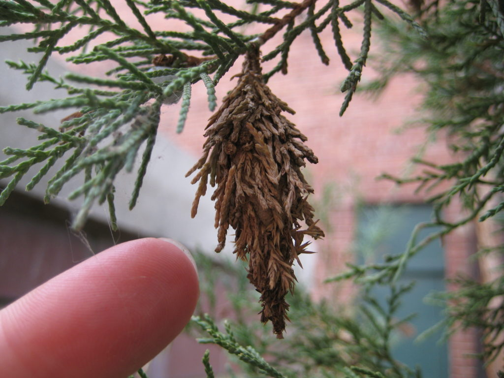 Bagworms more serious pests than webworms | News, Sports