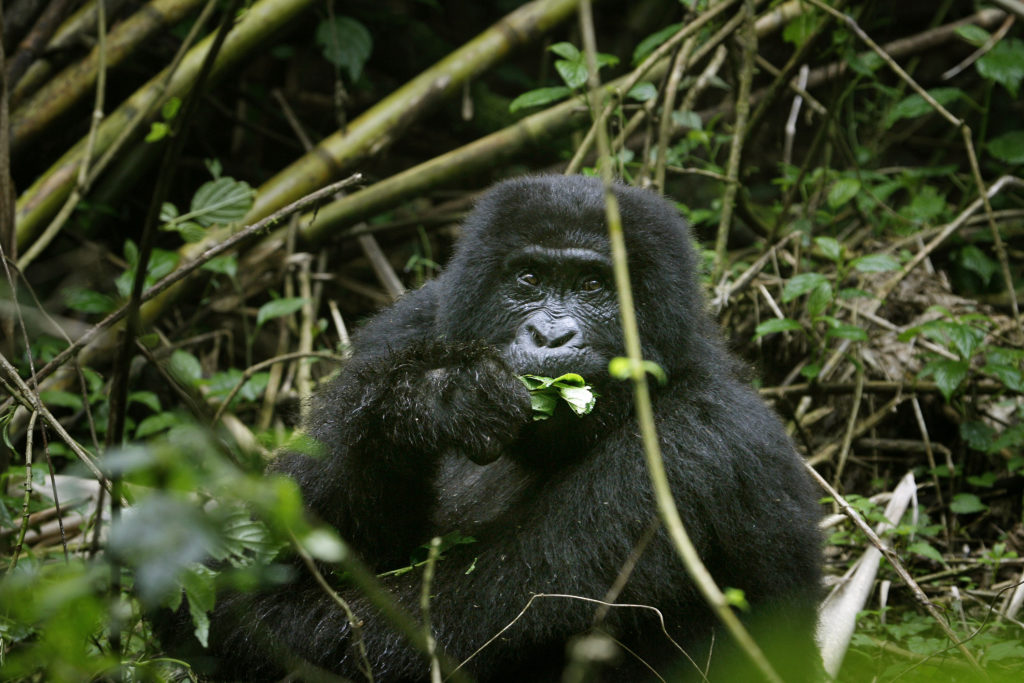 Congo gorillas eke out survival in forests | News, Sports, Jobs