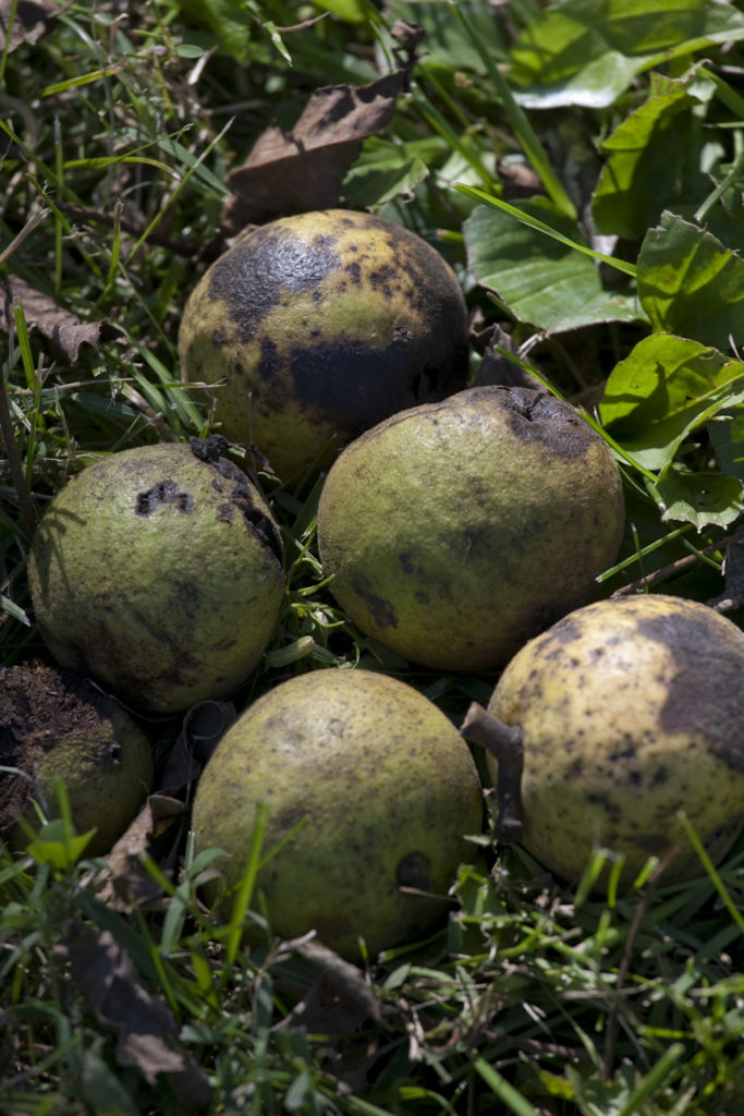 All for nut: Black walnut trees yield value for some owners, trouble