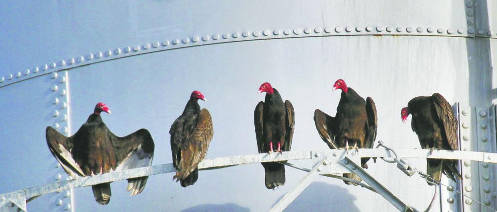 b0f263b46 Small Kansas town loves its turkey vultures | News, Sports, Jobs ...
