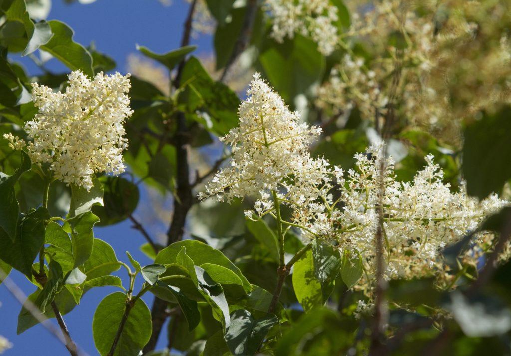 Garden Calendar Tree Lilacs Add Color To Summer Landscape News