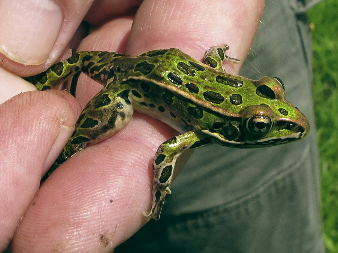 Frog population explodes in Vermont | News, Sports, Jobs