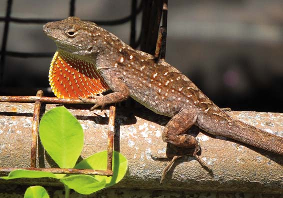 Reptiles and amphibians successful invaders of new ...