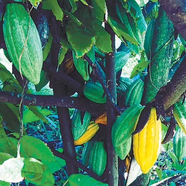 Cacao pods ripen on a tree at Hana Gold. -- The Maui News / CARLA TRACY photo