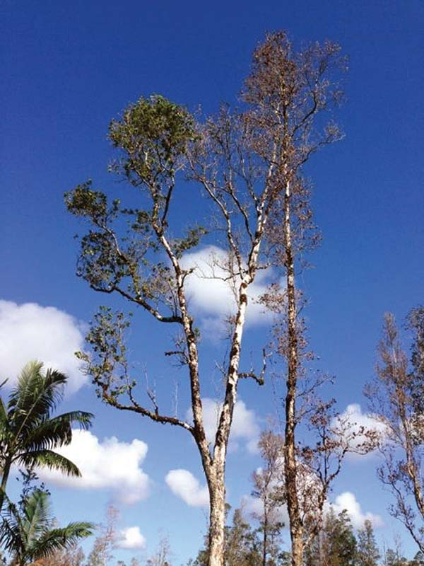 First Rapid Ohia Death case may not be Maui's last | News