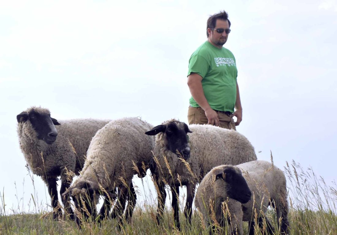 -Messenger photo by Joe Sutter  Brandon Erickson grazes sheep at the Badger lagoon, saving the need for the city to mow it regularly. About 21 sheep are out there at a time, while a second flock is back at Erickson's home.